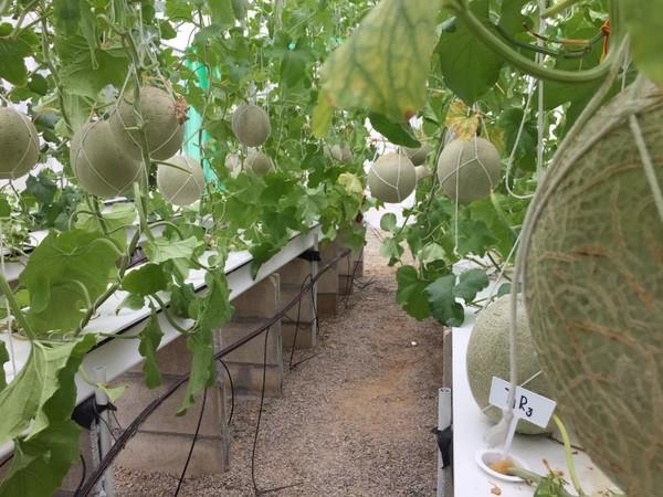 กรมส่งเสริมการเกษตร โชว์วิธีปลูกเมล่อนไร้ดิน ใช้เทคนิคแต่งทรงต้น เพิ่มปริมาณ-คุณภาพผลผลิต