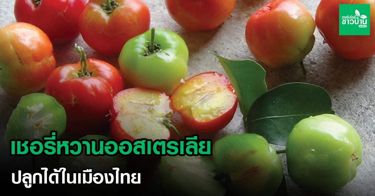 เชอรี่หวานออสเตรเลีย ปลูกได้ในเมืองไทย