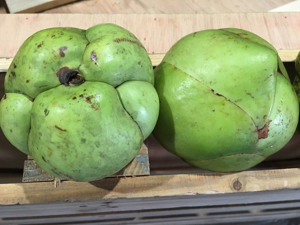 มะตาด หรือ แอปเปิ้ลมอญ ต้นไม้อนุรักษ์ของคนรามัญ