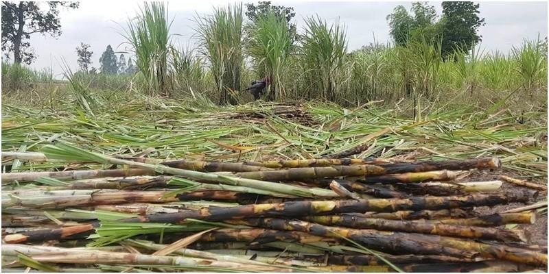 สอน.จ่ายแล้ว 3,293 ล้านบาท ช่วยชาวไร่อ้อย (งวด2) ธ.ก.ส.เร่งโอนให้เกษตรกรกว่า 1.6 แสนราย